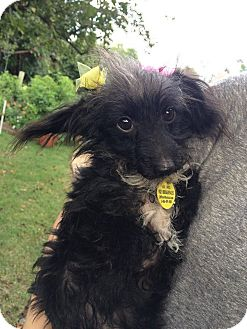 Chihuahua/Poodle (Miniature) Mix Dog for adoption in Astoria, New York - Sal