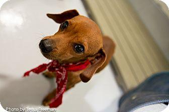 Dachshund Mix Dog for adoption in Muldrow, Oklahoma - Garfunkel