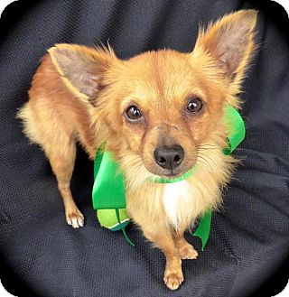 Papillon/Terrier (Unknown Type, Small) Mix Dog for adoption in Baton Rouge, Louisiana - Kit