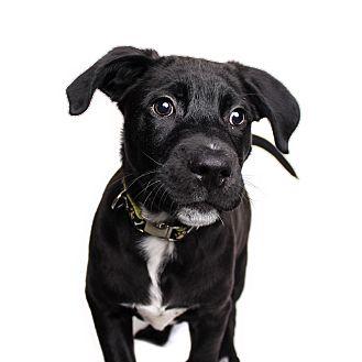 Labrador Retriever Mix Puppy for adoption in Wilmington, Delaware - Annie