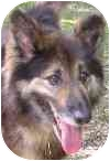 Collie/Shepherd (Unknown Type) Mix Dog for adoption in Eatontown, New Jersey - Barry