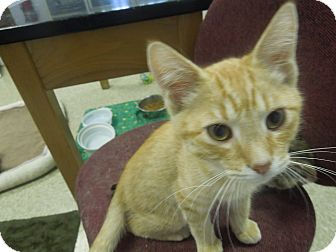 Domestic Shorthair Cat for adoption in Medina, Ohio - Cappuccino