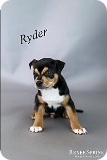 Husky/Redtick Coonhound Mix Puppy for adoption in Apex, North Carolina - Ryder