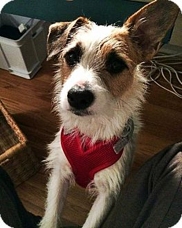 Jack Russell Terrier Mix Dog for adoption in West Allis, Wisconsin - Skip - Adoption Pending
