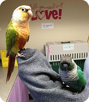 Conure for adoption in Bellingham, Washington - Calvin and Hobbes