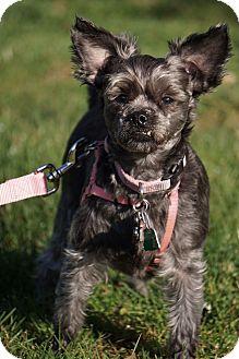 Miniature Schnauzer/Terrier (Unknown Type, Small) Mix Dog for adoption in Media, Pennsylvania - SHADOW