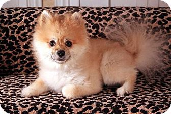Pomeranian Dog for adoption in Dallas, Texas - Muffy