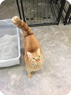 Domestic Shorthair Cat for adoption in Bryan, Ohio - Ginny