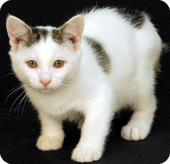Domestic Shorthair Kitten for adoption in Newland, North Carolina - Poe