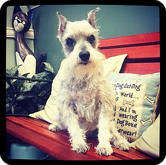 Schnauzer (Miniature) Dog for adoption in Grand Bay, Alabama - Sassy