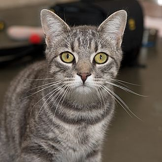 Domestic Shorthair Cat for adoption in Wilmington, Delaware - Munchie