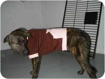 Labrador Retriever Mix Puppy for adoption in Carthage, Texas - Chey