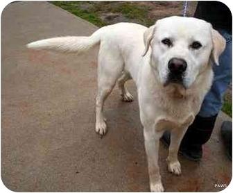 Great Pyrenees Mix Dog for adoption in Dahlonega, Georgia - Casper