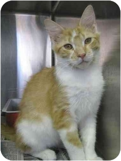 Domestic Mediumhair Cat for adoption in North Kingstown, Rhode Island - Blitzen