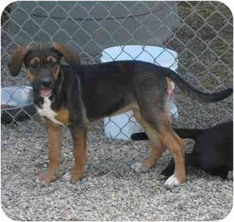Labrador Retriever/Hound (Unknown Type) Mix Dog for adoption in Florence, Indiana - Ruby