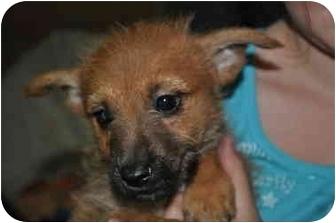 Australian Terrier Puppy for adoption in SLC, Utah - Stratton