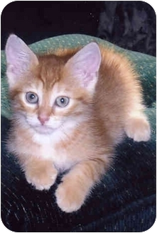 Domestic Shorthair Cat for adoption in Owatonna, Minnesota - Lewis