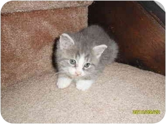 Domestic Shorthair Kitten for adoption in Frenchtown, New Jersey - Ottis