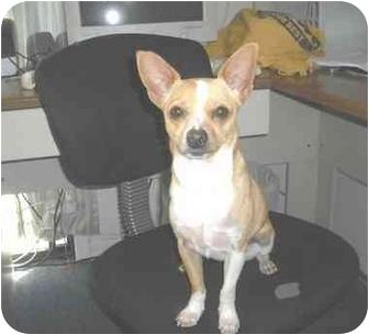 Chihuahua Mix Dog for adoption in Sedona, Arizona - Popper
