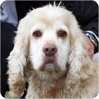 Cocker Spaniel Dog for adoption in Berkeley, California - Dunston