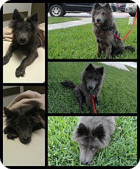 Border Terrier Mix Dog for adoption in hollywood, Florida - alex