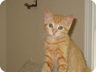 Domestic Shorthair Kitten for adoption in Worcester, Massachusetts - kitten - Buffy
