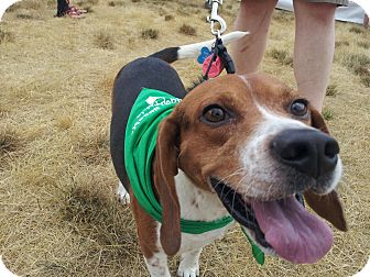 Beagle Mix Dog for adoption in Indianapolis, Indiana - Earl