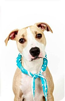 American Pit Bull Terrier Mix Dog for adoption in New York, New York - Te'Sa