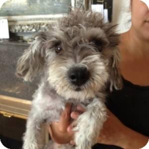 Schnauzer (Miniature)/Poodle (Miniature) Mix Dog for adoption in Redondo Beach, California - Lucy - Courtesy