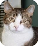 Domestic Shorthair Cat for adoption in West Des Moines, Iowa - Betty