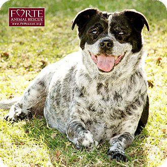 Australian Cattle Dog/Pug Mix Dog for adoption in Marina del Rey, California - Pepper
