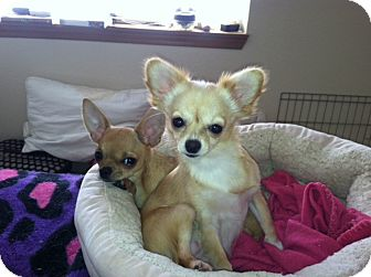 Chihuahua Puppy for adoption in Everett, Washington - Penny and Jazzy