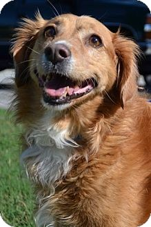 Golden Retriever Mix Dog for adoption in Knoxville, Tennessee - Lexi