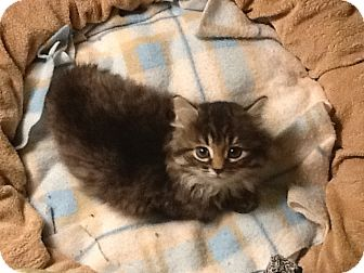 Domestic Longhair Kitten for adoption in Southington, Connecticut - Walter