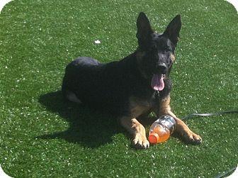German Shepherd Dog Dog for adoption in Littleton, Colorado - PERSEUS