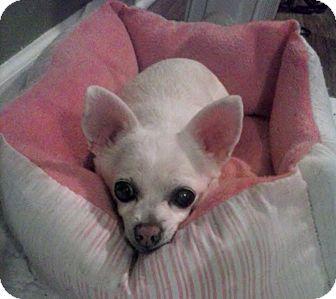 Chihuahua Dog for adoption in Marietta, Georgia - PATSY - GUEST