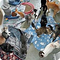 Adopt A Pet :: ASSORTED KITTIES - McKinney, TX