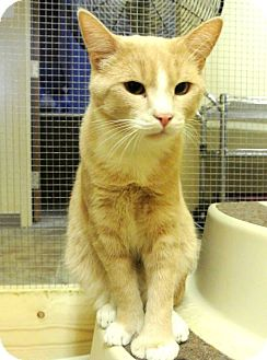 Domestic Shorthair Cat for adoption in Chisholm, Minnesota - Paws