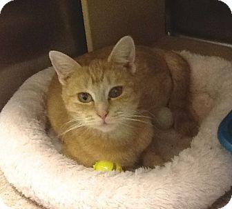 Domestic Shorthair Cat for adoption in Colmar, Pennsylvania - MacKenzie