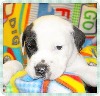 Staffordshire Bull Terrier/Boxer Mix Puppy for adoption in Santa Ana, California - Dice (JE)