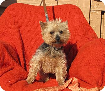 Yorkie, Yorkshire Terrier Mix Dog for adoption in Oakland, Arkansas - Messy Bessy