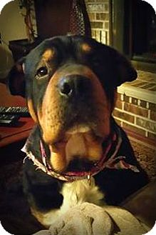 Rottweiler/Shar Pei Mix Dog for adoption in Sinking Spring, Pennsylvania - Lola