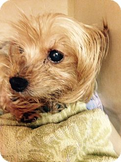 Yorkie, Yorkshire Terrier Mix Dog for adoption in Dallas, Texas - Topanga
