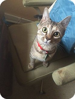 Domestic Shorthair Cat for adoption in Woodward, Oklahoma - Tonto