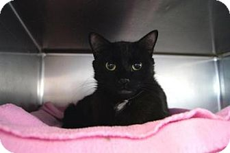 Domestic Shorthair Cat for adoption in New Milford, Connecticut - Charlotte