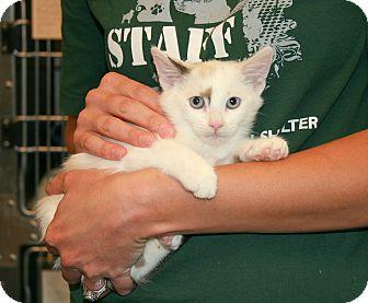 Domestic Shorthair Kitten for adoption in Yucca Valley, California - Rein Sapphire Mariestad