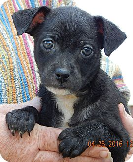 Boston Terrier/Chihuahua Mix Puppy for adoption in Burlington, Vermont - Gage (3 lb)