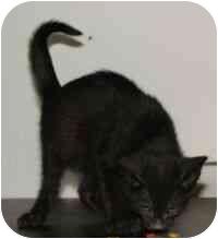 Domestic Mediumhair Kitten for adoption in Chepachet, Rhode Island - 390