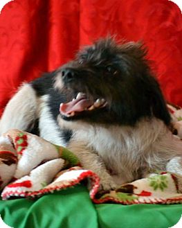Shih Tzu/Terrier (Unknown Type, Small) Mix Dog for adoption in Okeechobee, Florida - Sammie
