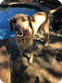 Labrador Retriever/Hound (Unknown Type) Mix Dog for adoption in New York, New York - Sage